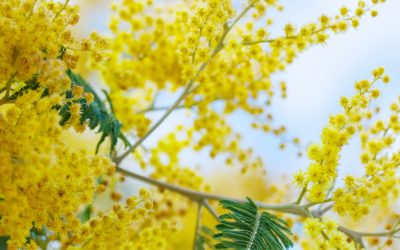 Acacia covenyi is a mimosa species